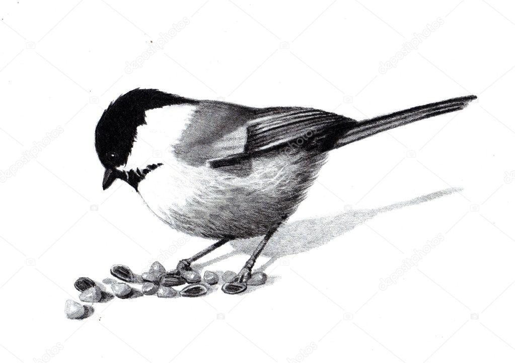 Depositphotos Stock Photo Pencil Drawing Of Chickadee Drawings