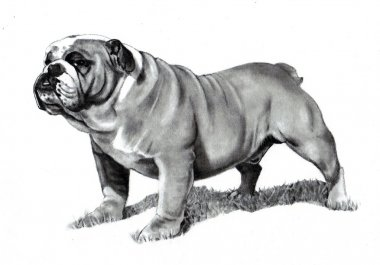 Pencil Drawing of a Bulldog