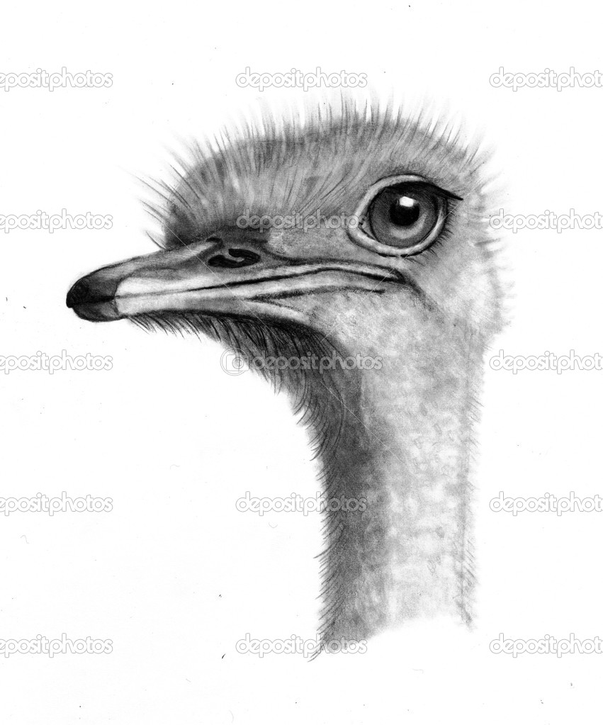 Depositphotos Stock Photo Pencil Drawing Of Ostrich Head Drawings