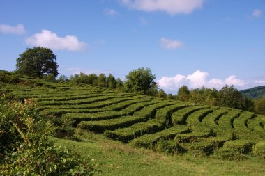 Tea plantation in Sochi