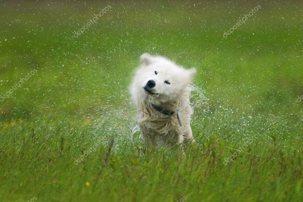 Dog shaking off