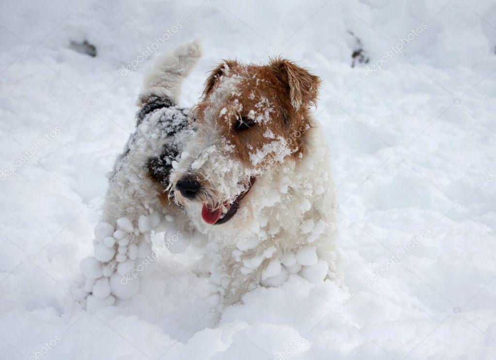 Fox terrier puppy in snow — Stock Photo © Ukrainian #1515514