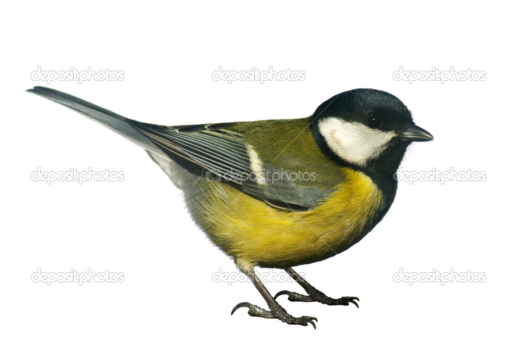 Titmouse bird, isolated on white