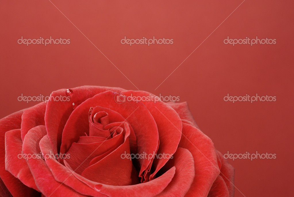 Macro of beautiful red rose with water drop