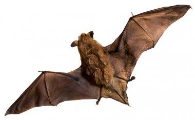 Bat a mammal