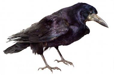 Bird of a raven