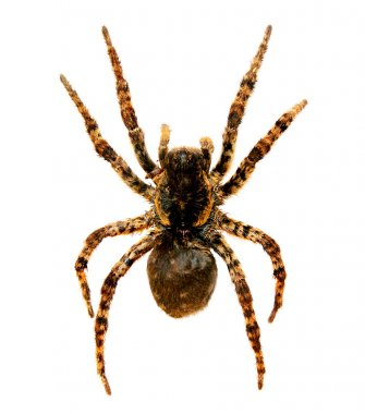 Spider a tarantula lycosa singoriensis