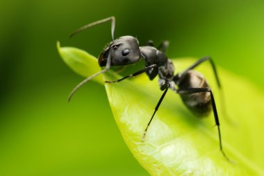 Macro fo a black ant's face