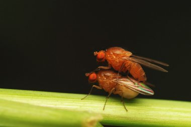 A mating pair of fly