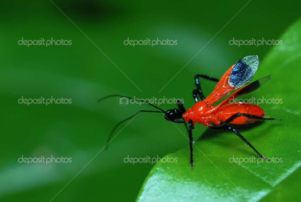 Black and red assassin bug