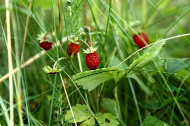 Ripe berries of wild strawberry