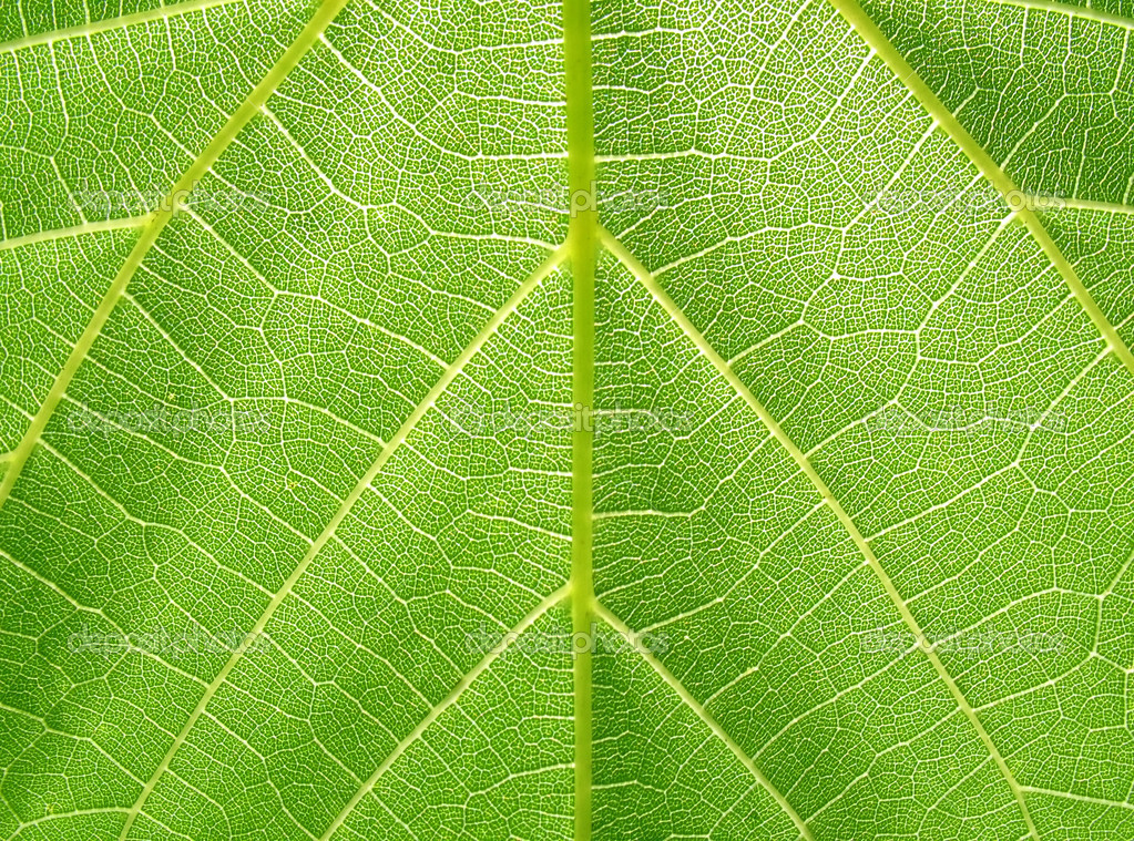 Structure of grape leaf