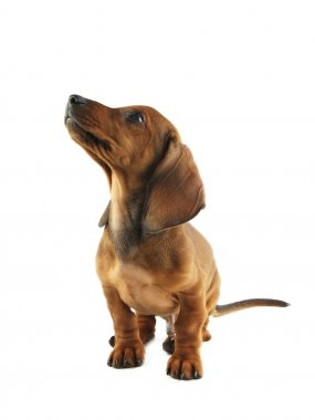 Dachshund puppy looking up