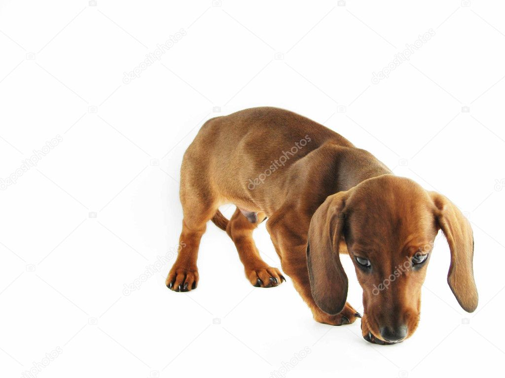 Dachshund Pictures Images Stock Photos Depositphotos