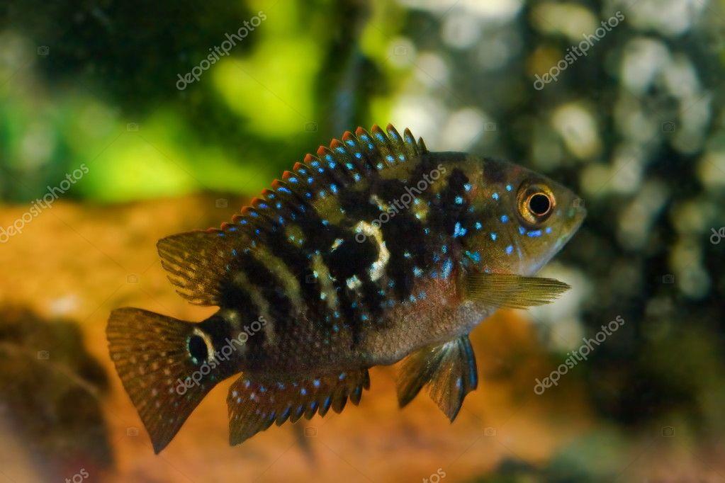 Aquarium fish cichlasoma cichlidae
