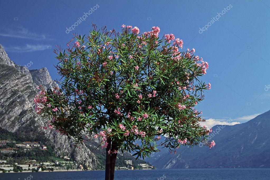 laurier rose nerium oleander d 39 arbre italie. Black Bedroom Furniture Sets. Home Design Ideas