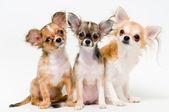 Fotografia tre cani di chihuahua di razza