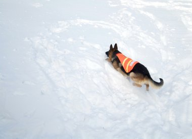 Avalanche Rescue Dog Climbing