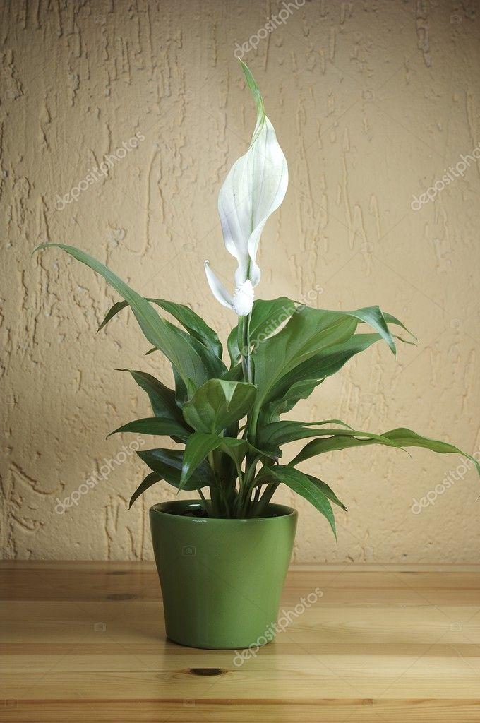 Spathiphyllum Floribundum Stock Photo C Bullyphoto 1902182