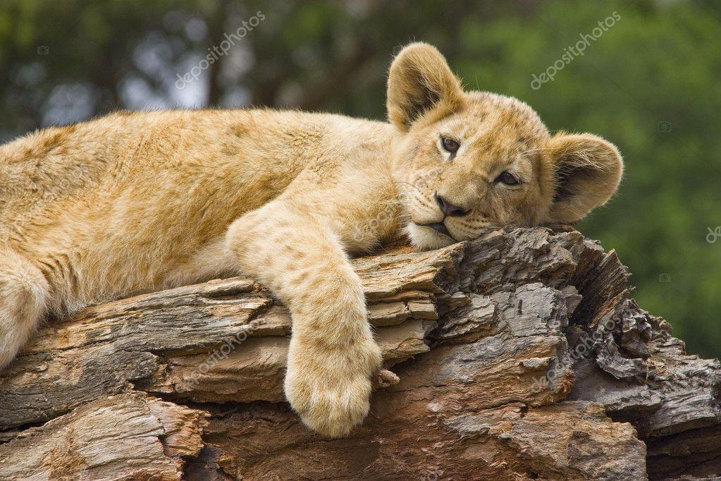 Lion Cub resting on a log