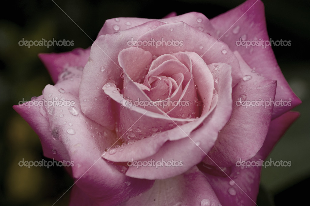 Dusty Pink Rose with water droplets