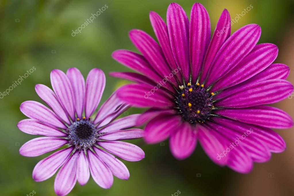 Purple African Daisies