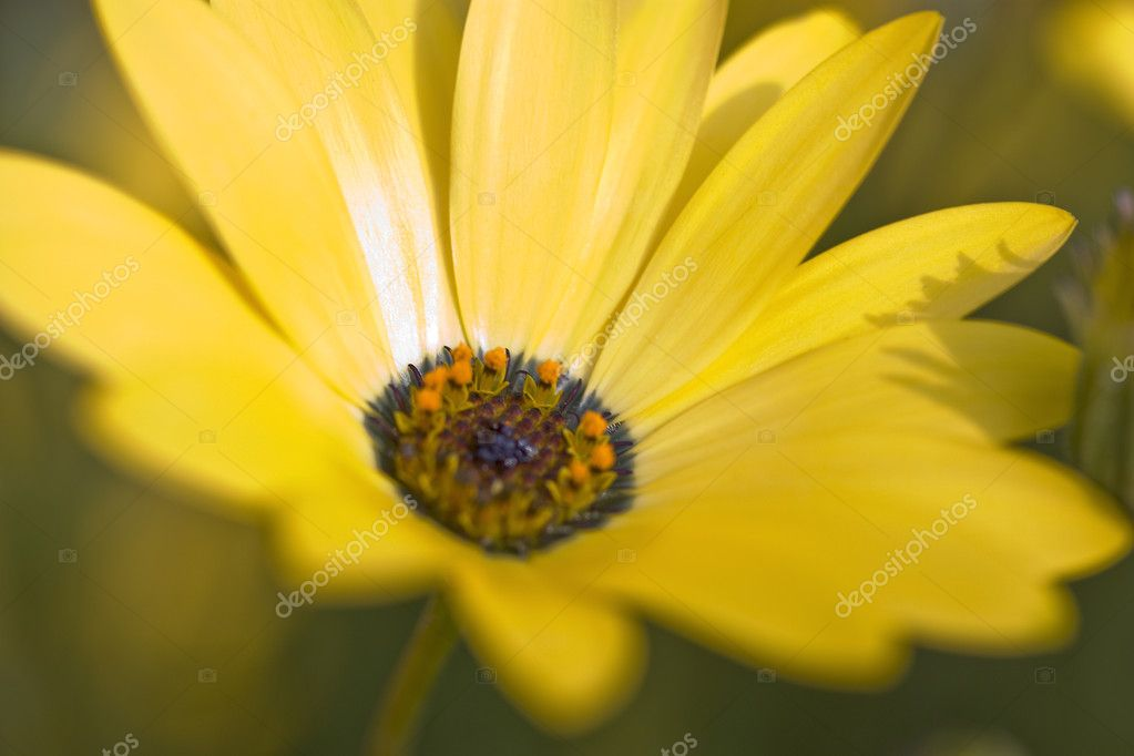 Close-Up of Namaqualand Daisy