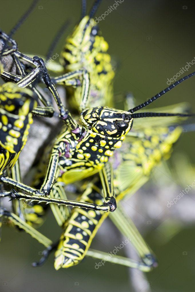 Locusts climbing