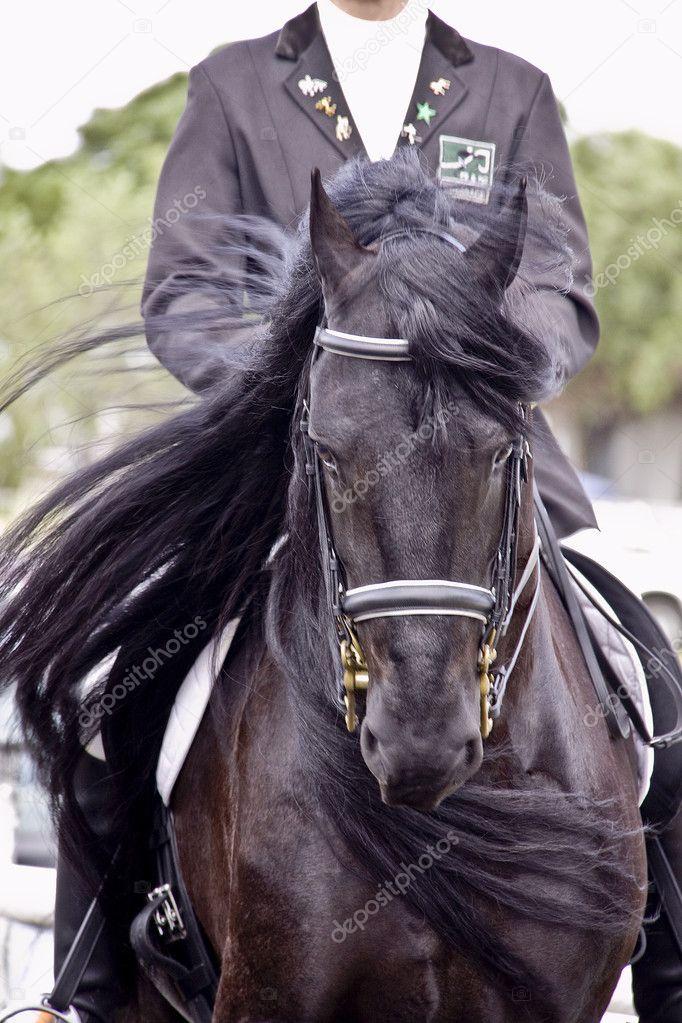 Freisian Stallion