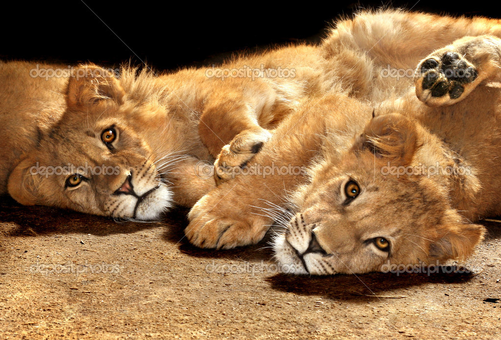 Two lazy young lions