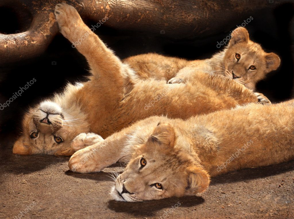 Three lazy young lions