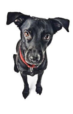 A funny labrador mix dog
