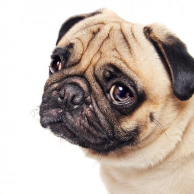 Cute sad pug face isolated on white
