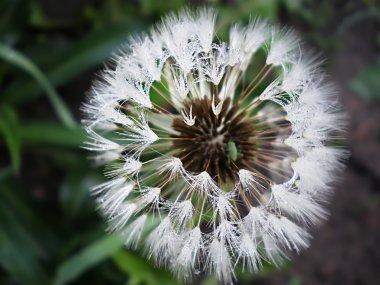 Dandelion with Dew drops