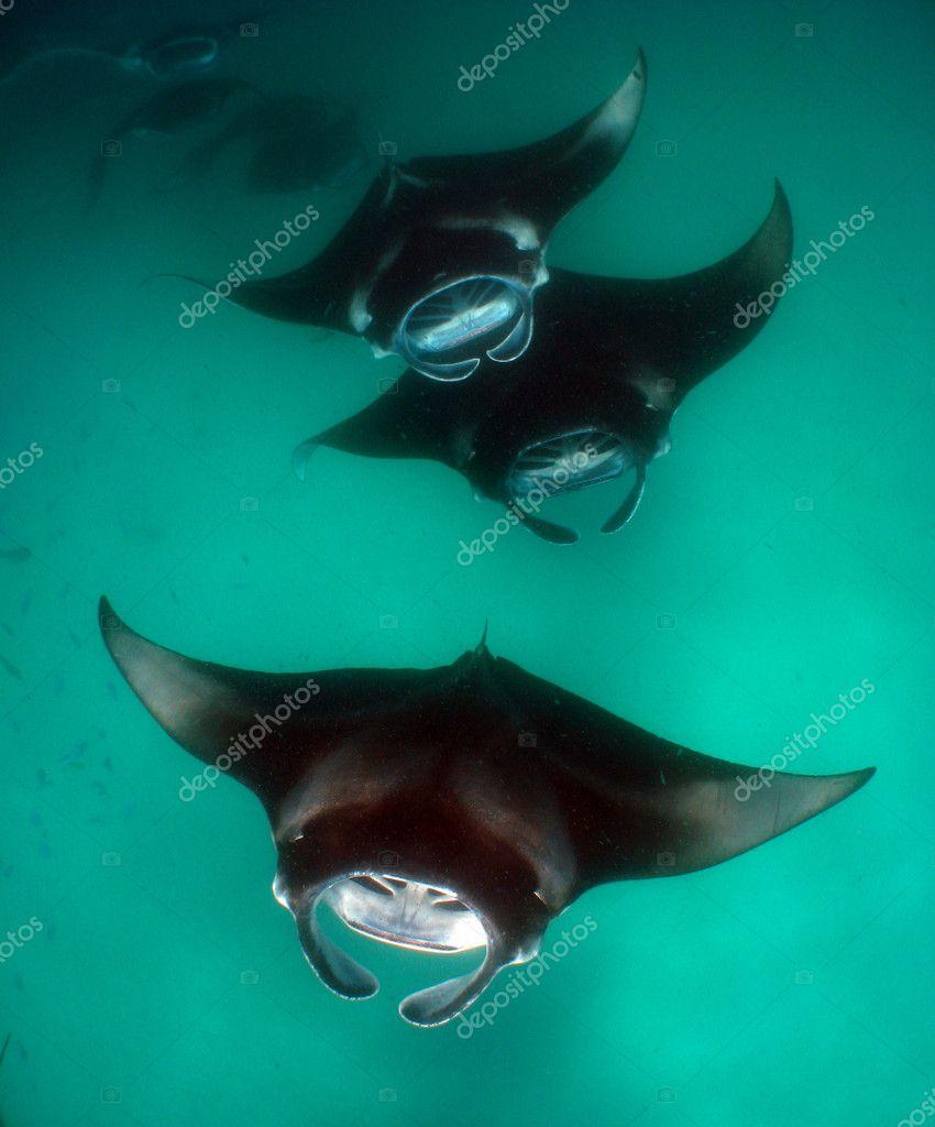 Manta Rays feeding in formation, Maldive