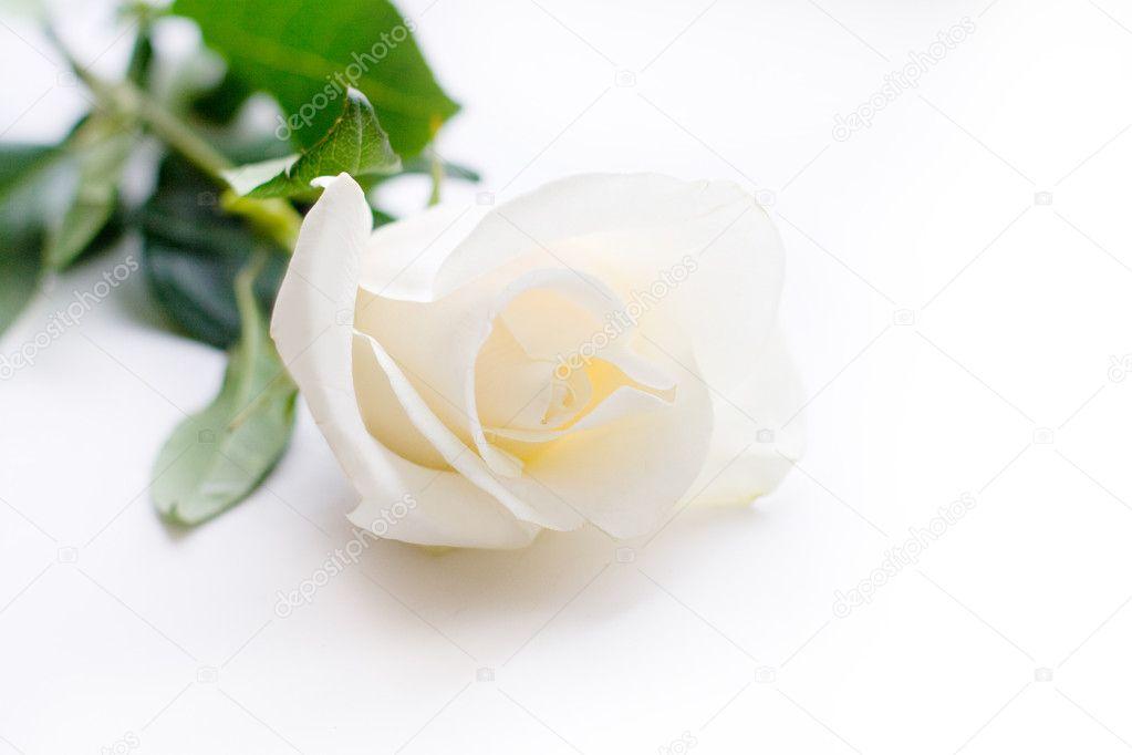Thewhite rose