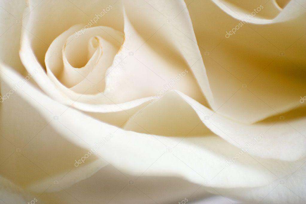 The macro rose