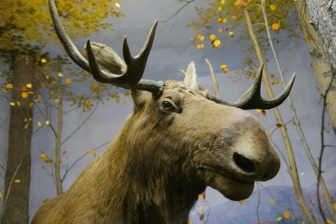 Close-up photo of elk head