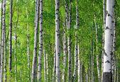 jarní zelené březový les