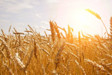 Grain in a farm field and sun