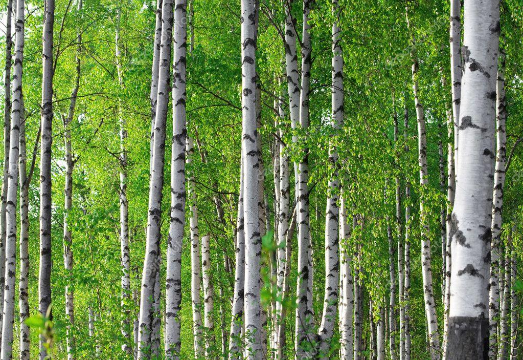 Spring green birch forest