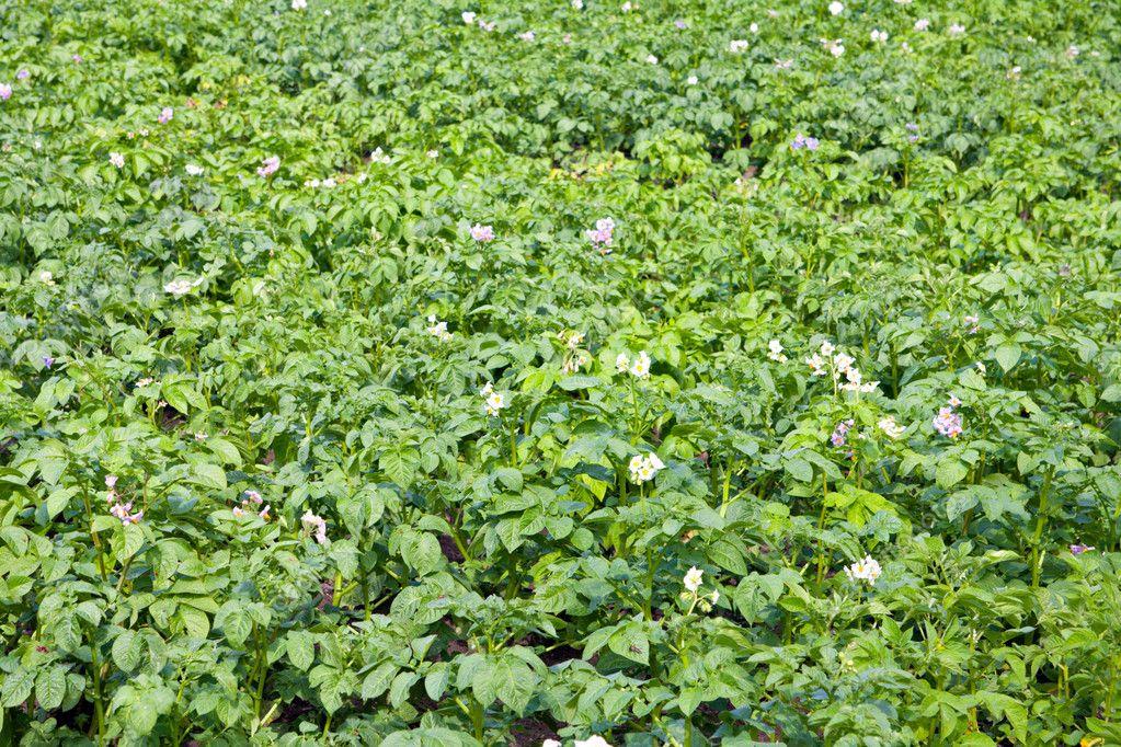 Green potatoes field