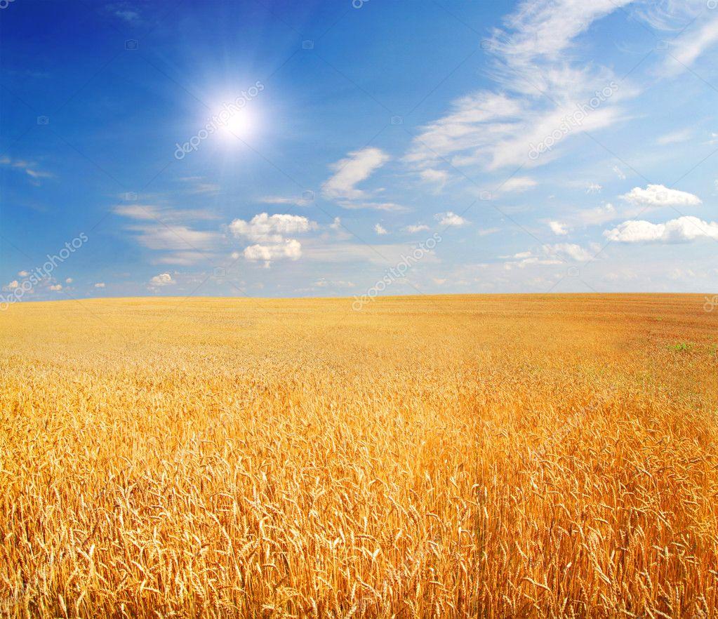 Field of wheat with shining sun