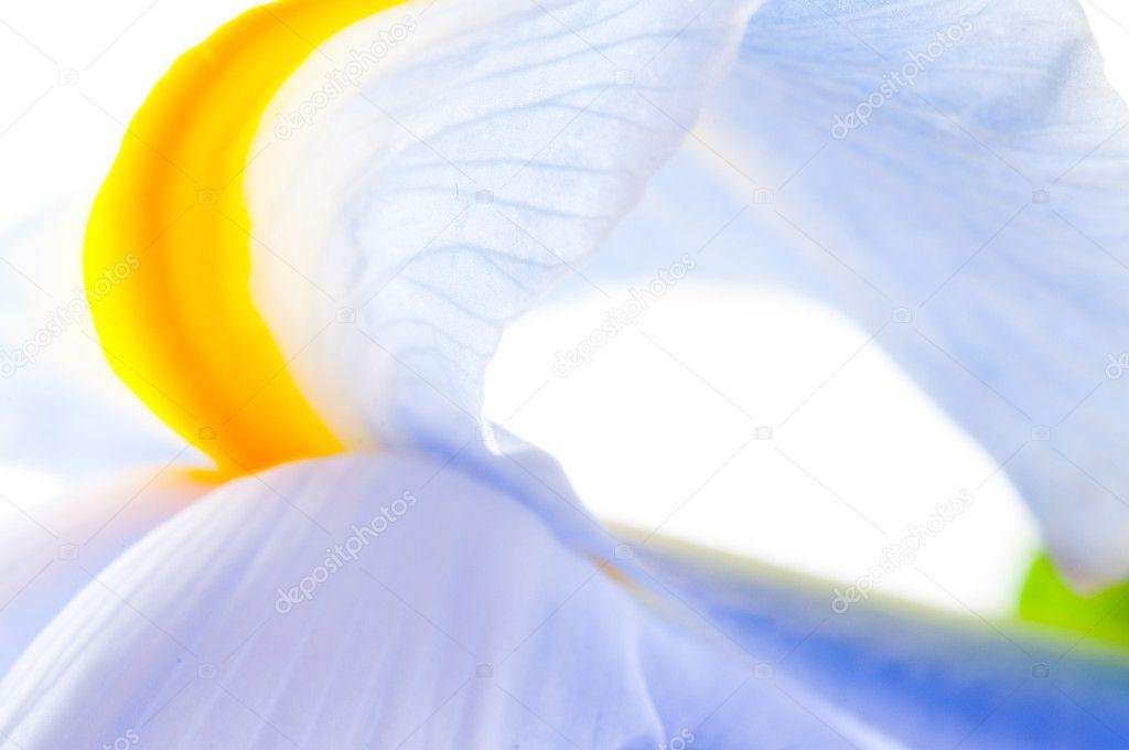 Close up of Iris petal