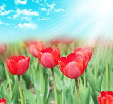 Many tulips in the garden stock vector
