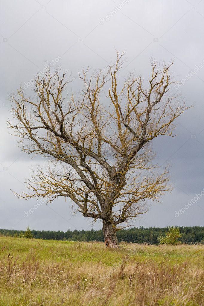 Dead old tree