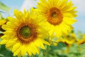 Pár slunečnice