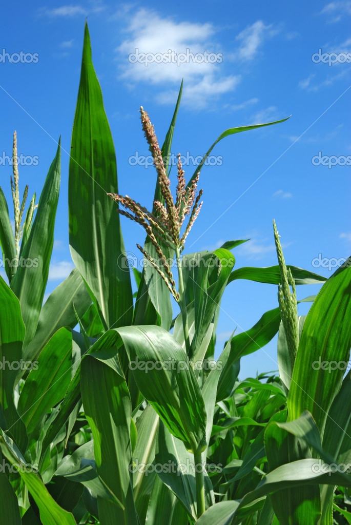 Corn plants over clear blue sky