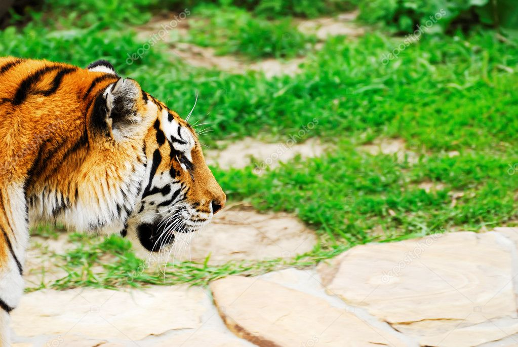The tiger leaves on hunting