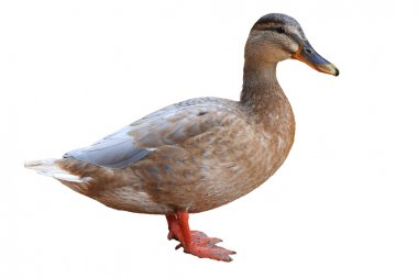 Duck isolated on a white background